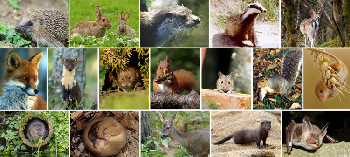 Images left to right, from top: Hedgehog, Rabbit, Otter, Badger, Fallow Deer, Fox, Pine Marten, Bank Vole, Red Squirrel, Wood Mouse, Grey Squirrel, Harvest Mouse, Water Vole, Hazel Dormouse, Roe Deer, American Mink & Bechstein�s Bat.
