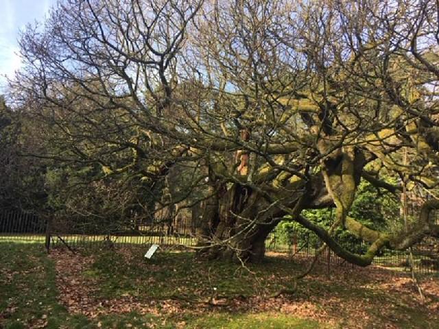 Lofty: The Allerton Oak in Calderstones Park